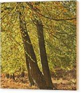 Autumn Beeches Wood Print