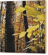 Autumn Birch Trees Wood Print