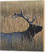 Autumn Bull Elk In Yellowstone National Park Wood Print