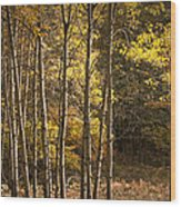 Autumn Forest Scene With Birches In West Michigan Wood Print