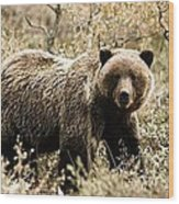 Autumn Grizzly Wood Print