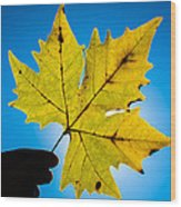 Autumn Maple Leaf In The Sun Wood Print