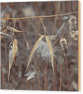 Autumn Milkweed Wood Print