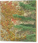 Autumn Vine And Evergreen Wood Print