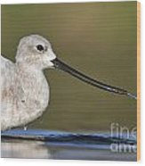 Avocet Feeding Wood Print