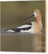 Avocet Looking Back Wood Print