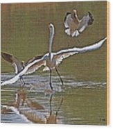 Avocets Chase Off The Egret Wood Print