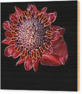 Awapuhi Ko Oko'o - Torch Ginger - Etlingera Elatior - Hawaii Wood Print