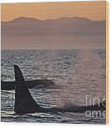 Award Winning Photo Of Two Killer Whales At Sunset Dramatic Silhouette Wood Print