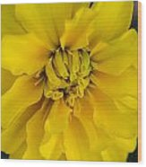 Ayz - A Yellow Zinnia Wood Print