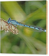 Azure Damselfly  Wood Print