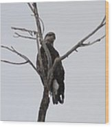 Baby Bald Eagle Wood Print