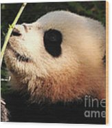 Baby Bear Bamboo Inspection Wood Print