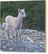 Baby Big Horn Sheep Wood Print