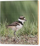Baby - Bird - Killdeer Wood Print