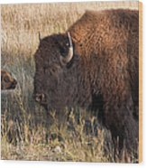 Baby Bison Meets Daddy Wood Print