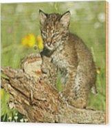 Baby Bobcat At Play Wood Print