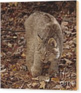 Baby Canada Lynx In An Autumn Forest Wood Print