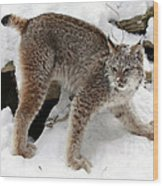 Baby Canadian Lynx Leaving The Winter Den Wood Print