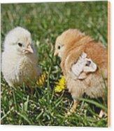 Baby Chicks Wood Print