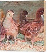 Baby Chicks Under Heat Lamp Art Prints Wood Print