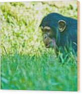 Baby Chimp In The Grass Wood Print