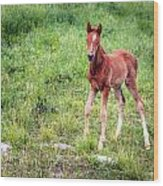 Baby Colt Wood Print