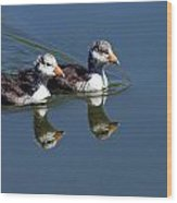 Baby Coots Wood Print