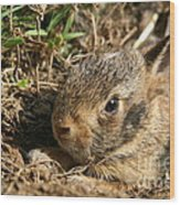 Baby Eastern Cottontail Wood Print