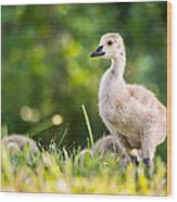 Baby Duckling In The Morning Light Wood Print