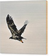 Baby Eagle Flying By  Wood Print