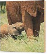 Baby Elephant Feeding Wood Print
