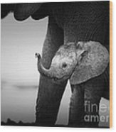Baby Elephant Next To Cow  Wood Print