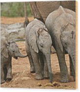 Baby Elephant Trio Wood Print