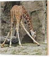 Baby Giraffe 1 Wood Print