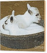 Baby Goats Lying In Food Pan Wood Print