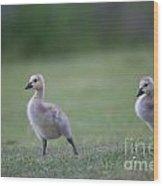 Baby Goslings Wood Print