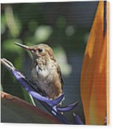 Baby Hummingbird On Flower Wood Print