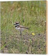 Baby Killdeer Wood Print
