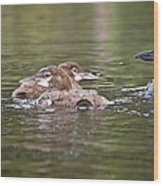 Baby Loons And Mom Wood Print