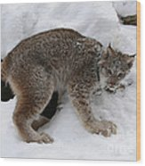 Baby Lynx Staying Close To Its Winter Den Wood Print