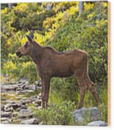 Baby Moose Baxter State Park Wood Print