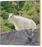 Baby Mountain Goat Wood Print