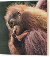 Baby Orangutan Borneo Wood Print