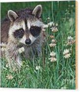 Baby Raccoon Wood Print
