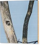 Baby Red-headed Woodpecker Wood Print