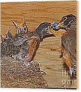 Baby Robins Feeding  An5141-14 Wood Print