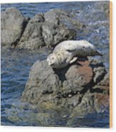 Baby Sea Lion On Rock At San Juan Island Wood Print