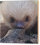 Baby Sloth 2 Wood Print by Heiko Koehrer-Wagner
