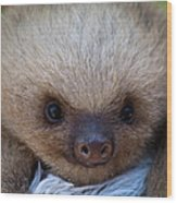 Baby Sloth Wood Print by Heiko Koehrer-Wagner